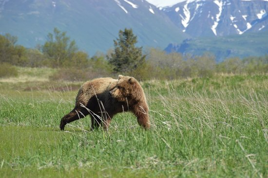Flightseeing Tour and Wilderness Bear Viewing in an Alaska National Park: Male moving away from alpha