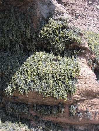 Hopewell Rocks Admission: Seaweed (clinging approx. 7 feet above the Mud Flats)