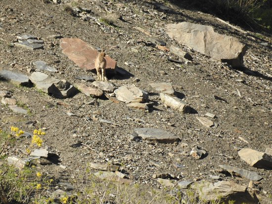 Protected & Endangered Markhor (Mountain Goat), Chitral, Pakistan.