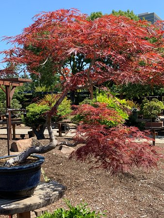 What Bonsai Collection Would Be Complete Without An Acer Palmatum Or Two Or Three Picture Of Gsbf Bonsai Garden At Lake Merritt Oakland Tripadvisor