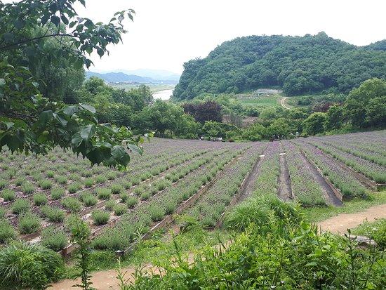 Gangwon-do, เกาหลีใต้: Lavender field