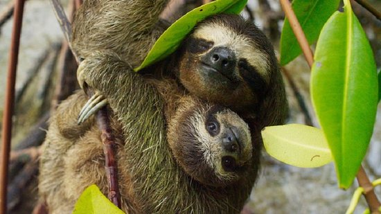 Sardinal, Costa Rica : Sloths in Costa Rica