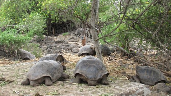 Charles Darwin Research Station: tortoises