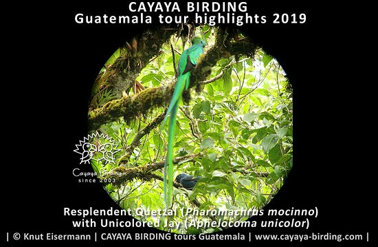 Resplendent Quetzal and Unicolored Jay, seen during a CAYAYA BIRDING tour in Guatemala.