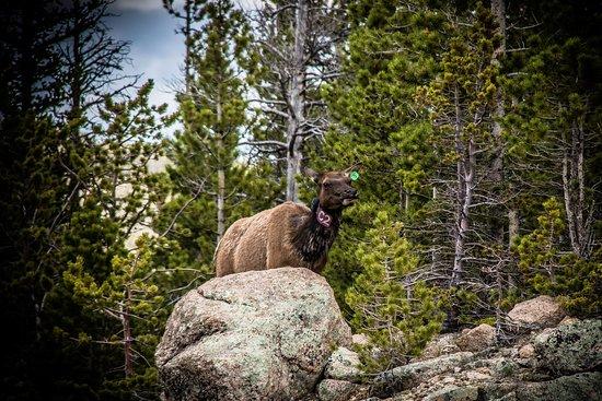 Alberta Falls: Elk along the Alberta Falls trail