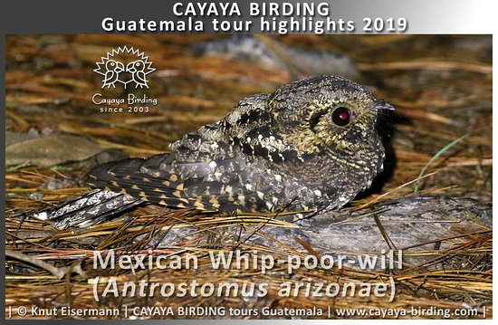 Mexican Whip-poor-will (Antrostomus arizonae) during a CAYAYA BIRDING tour in the highlands of Guatemala.