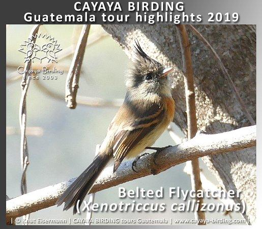 Belted Flycatcher (Xenotriccus callizonus) during a CAYAYA BIRDING tour in Guatemala.