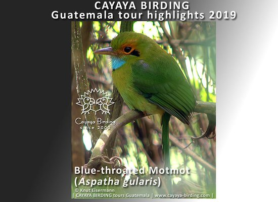 Blue-throated Motmot(Aspatha gularis) during a CAYAYA BIRDING tour in Guatemala.