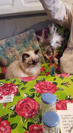 Shakespaw Cat Cafe: Cheeky Horatio who came to check out our table, and mums handbag