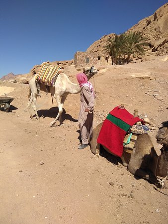 St. Catherine's Monastery: Camels for transportation