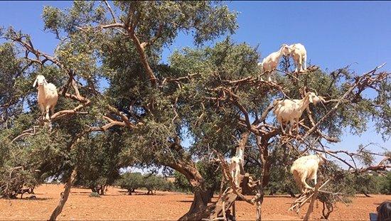 """Morocco Tours Organizations: Uma nova definição para """"pé de cabra""""... :)"""