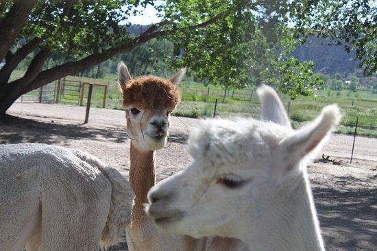 Sopris Alpaca Farm