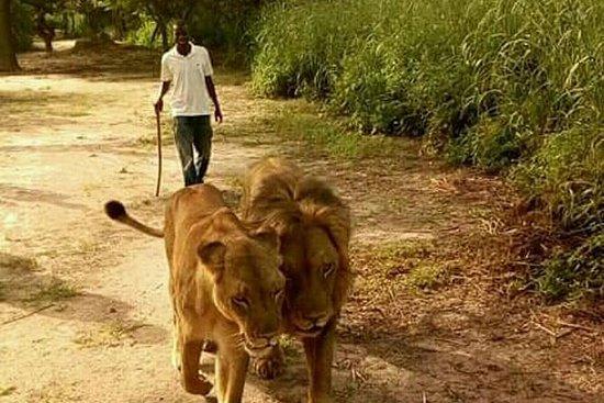 Caminando con los leones en la...