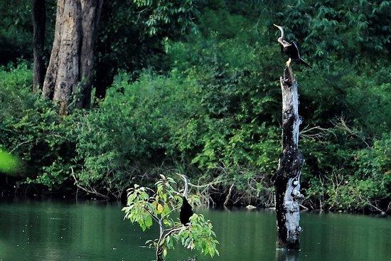 Kattikkulam, Inde : Anhinha anhinha - Snake neck Darter or Water Turkey