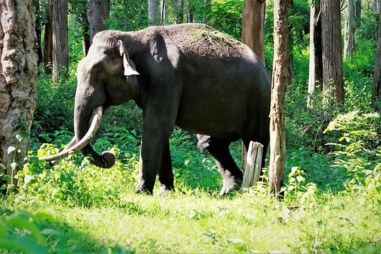 Kattikkulam, India: A tusker in Kabini forest on the way to Thennal Jungle camp