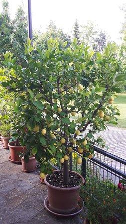 Prebold, Slovenia: Full lemon tree