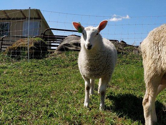 Albany, VT: Lambs on the farm
