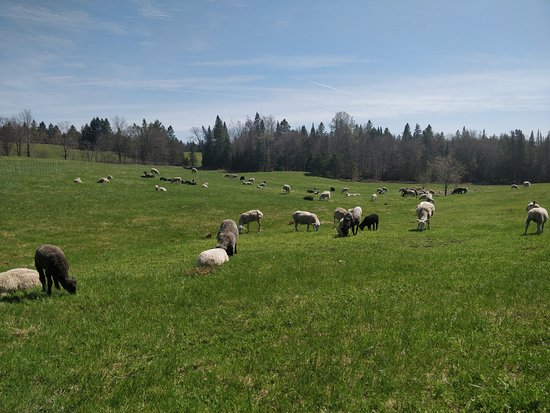 Albany, VT: Sheep grazing in the fields at Cloverworks Farm
