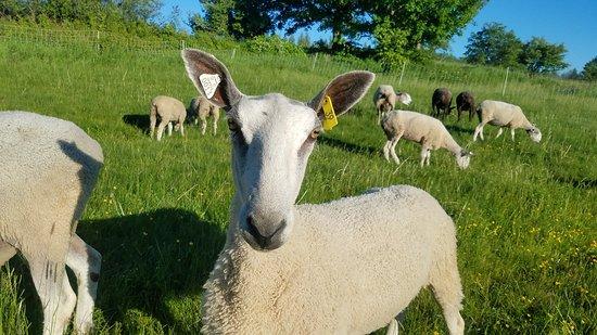 Albany, VT: A friendly ewe,