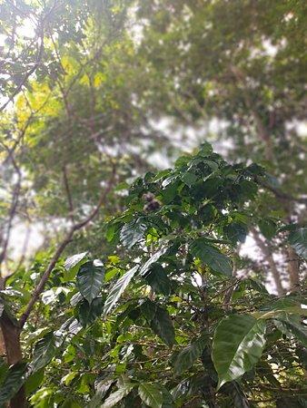 Ubaque, Колумбия: Cafetal