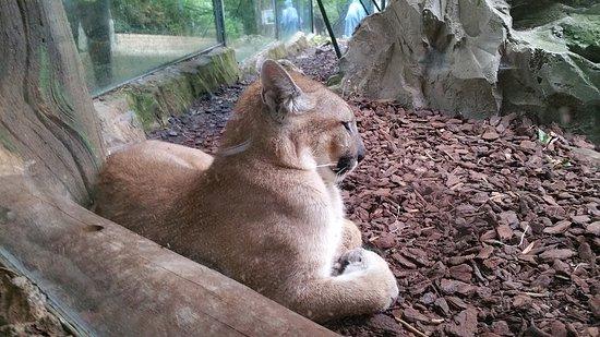 Skip the Line: ZooParc de Beauval Entrance Ticket: Puma