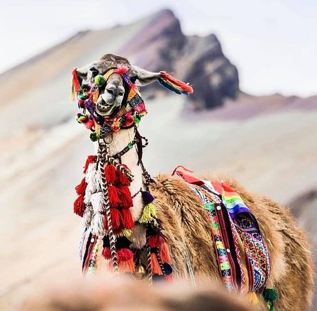A tipycal LLama located at the Rainbow Mountain