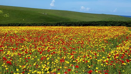 Wildflowers in the fields at West Pentire