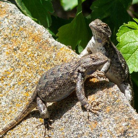 Western Fence Lizard - Sceloporus occidentalis  - Boise Botanical Gardens