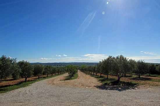 PRIVATE -Secrets of Dalmatian karst & wine experience: Olive Trees at Mas Vin Cooperative