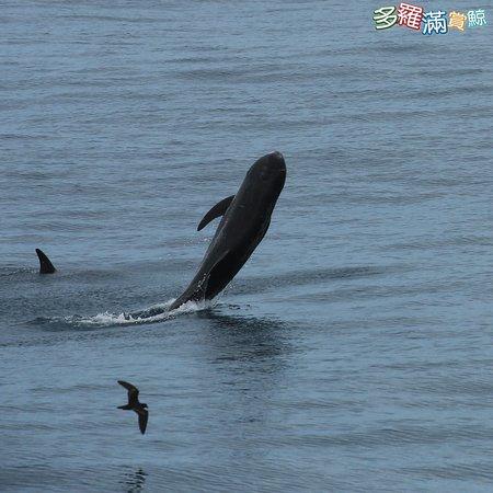 跳躍吧!太海總是有無限的可能!!!多羅滿賞鯨www.turumoan.com.tw