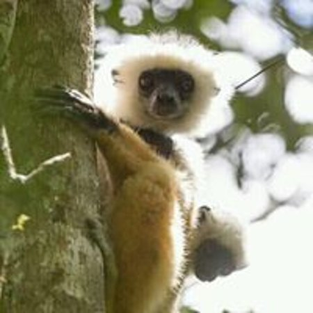 Andasibe-Mantadia National Park: Lemur with a baby in Andasibe national park by Hasina Madagasitsara guide