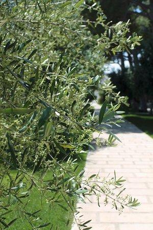 Villa Ciccorosella: ulivi in fiore nel nostro giardino