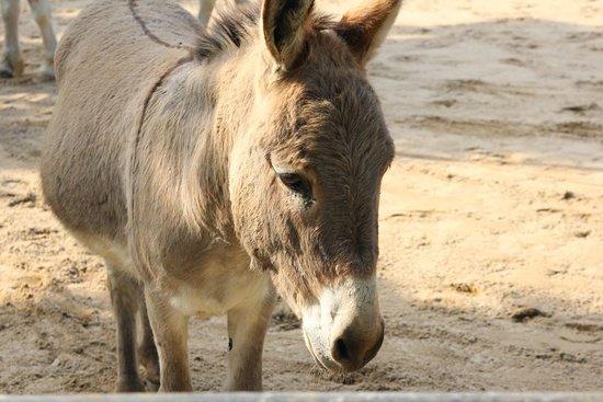 Esel im Zoo Hagenbeck