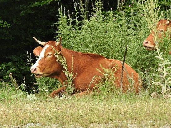 Katara Pass: glückliche Kühe