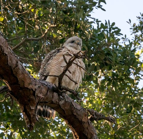 Frenchman's Forest Natural Area: Slechtvalk of Peregrin Falcon