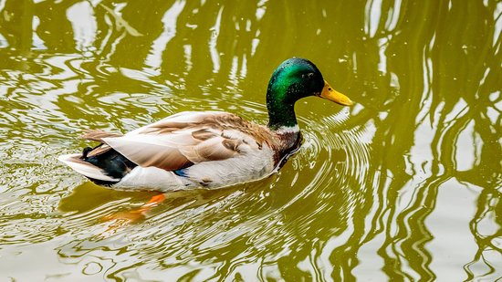 Duck in Acton Lake 2