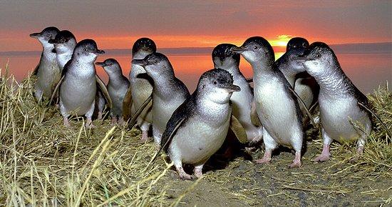 Phillip Island, Αυστραλία: Penguins