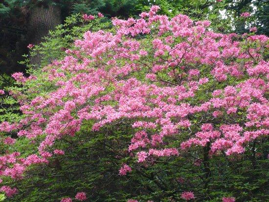 Rhododendrons De L Himalaya Picture Of Bois De Moutiers Varengeville Sur Mer Tripadvisor