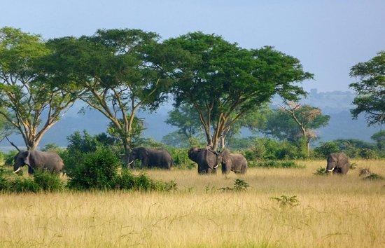 Queen Elizabeth National Park, Uganda: Savannah elephants i Mara gambol forest