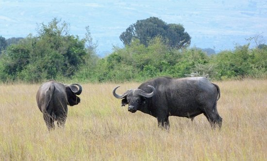 Queen Elizabeth National Park, Uganda: the Buffalo that have lost the battle for dominance
