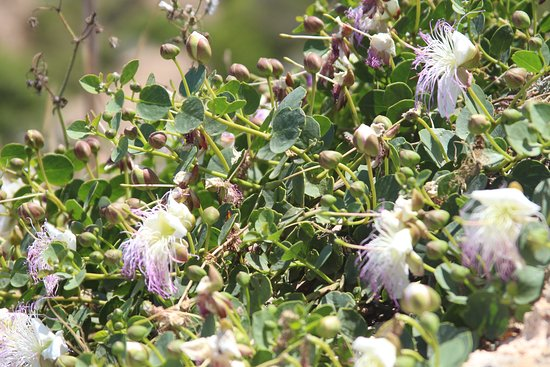 Caper Plant in Bloom