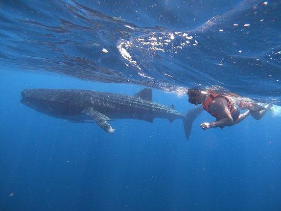 Puro Kitesurf Mexico : Whale Shark.!