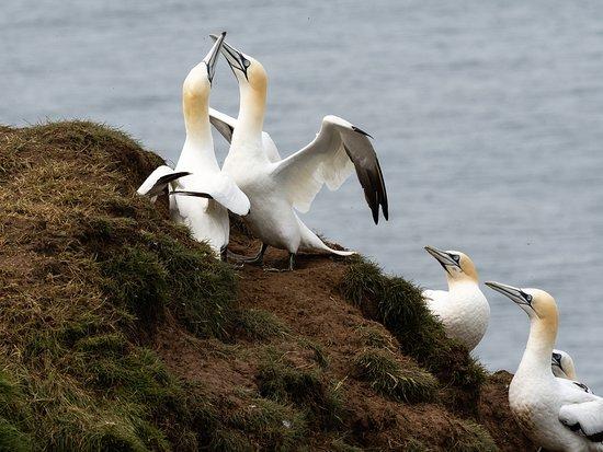 RSPB Bempton Cliffs: Gannets billing