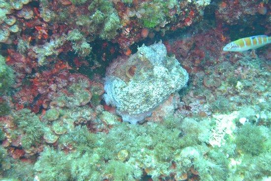 großer Oktopuss