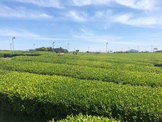 绿茶博物馆
