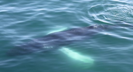 Whale Watching in Luxury from Reykjavik: Humpback whale right next to the boat