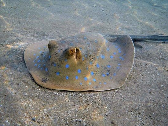 Fort Arabesque Resort, Spa & Villas: Blue Spotted Ray