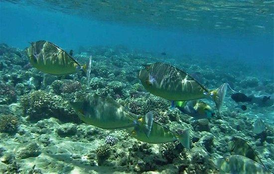 Fort Arabesque Resort, Spa & Villas: Bluespine Unicornfish