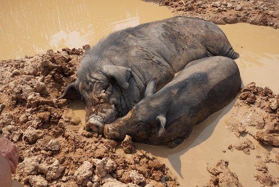 poutounai et rosinette nos 2 cochons