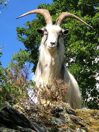 Dinorwig, UK: Goats grazing in the sunshine @ Dinorwig Quarry.